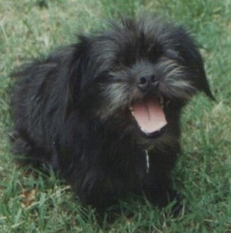 Close up front side view - A shaggy, black Peke-a-poo is sitting in grass looking up. Its mouth is open and its tongue is showing.