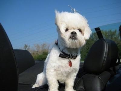 A white Peke-a-poo dog is sitting in the backseat of a moving convertible vehicle that has black leather seats. Its hair is blowing in the wind.