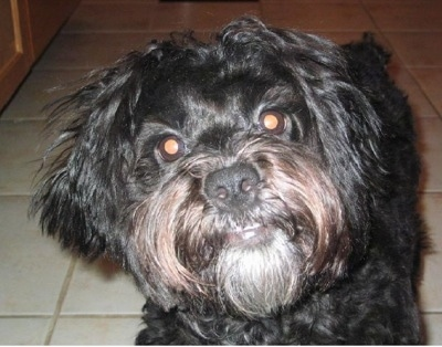 Close up head shot - A black Peke-a-poo dog is standing on a tan tiled floor and it is looking forward. Its head is slightly tilted to the left.