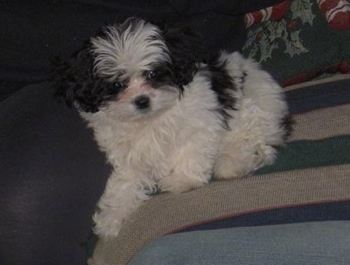 Side view - A white with black Peke-a-poo puppy is laying against the back of a green and white couch looking forward.