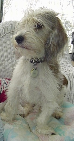 Front view - A shaggy, white with black and tan Petit Basset Griffon Vendeen dog is sitting on a pillow in a white wicker chair looking to the left.