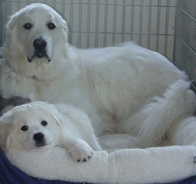 An adult Polish Tatra Sheepdog with a puppy. They are laying on a dog bed inside of a large crate.