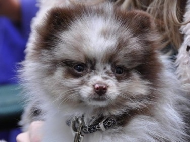 Close up head shot - A chocolate merle parti Pomeranian puppy is being held in the arms of a person. The puppy is looking forward.