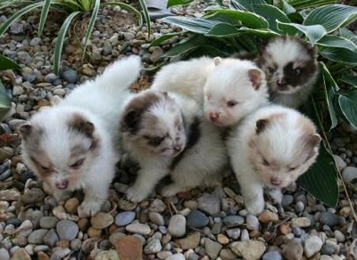 Five Pomeranian puppies are standing on rocks in an area with plants.