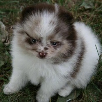 Close up front view - A chocolate merle parti Pomeranian puppy is sitting in grass and it is looking forward.