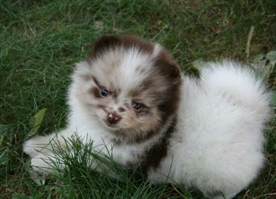 Close up side view - A fuzzy chocolate merle parti Pomeranian puppy is laying across grass and it is looking forward.