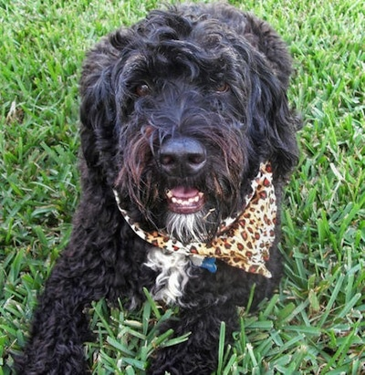 Close up front view - A wavy-coated black with white Portuguese Water Dog is laying in grass and it is looking forward. Its mouth is open and it is wearing a brown leopard print bandana.