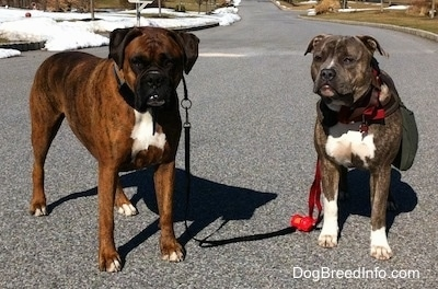 Bruno the Boxer and Spencer the Pit Bull Terrier standing in a street with snowy yards in the background
