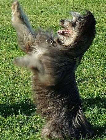 Li the Pyrenean Shepherd standing on its hind legs with its front paws in the air with its mouth open