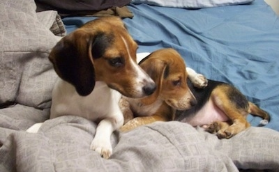 A Queen Elizabeth Pocket Beagle and a Beagle puppy are laying next to each other in a bed and looking back over the edge of it