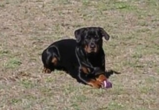 Front side view - A black with brown Rottweiler is laying in grass and it is looking forward. In front of it is a purple ball toy.