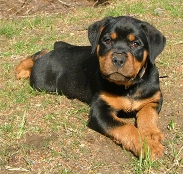 Front view - A cute, thick, black and tan Rottweiler puppy is laying across patchy grass looking forward and its head is slightly tilted to the right.
