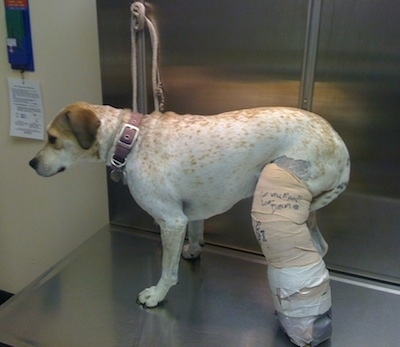 Maggie the Pit Bull mix is standing on a metal table at the vets office with a large cast on her leg