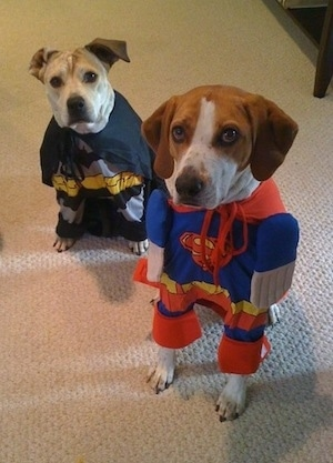 Darley the Beagle mix and Maggie the Pit Bull mix wearing costumes. Maggie's costume is batman and Darley's costume is Superman