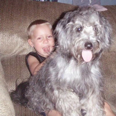 A long haired, grey with white Schnoodle is sitting on the lap of a boy that is sitting on a couch. The dog's mouth is open and tongue is out.