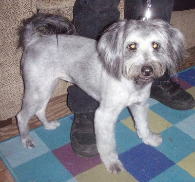 A short groomed Schnoodle is standing over top of a persons foot and on top of a rug. It has longer hair on its tail, ears and face.