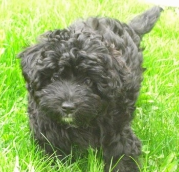 Close up - A curly coated, thick haired, black Scoodle puppy is walking down tall grass and it is looking forward.