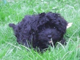 Front view - A thick coated black Scoodle puppy is laying down in grass and it is looking forward. It has round black eyes.