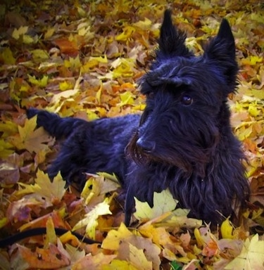 Close up - A black Scottish Terrier dog is laying in colorful leaves and it is looking to the left.