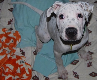 A white with black Sharmatian puppy is sitting on a light blue blanket and it is looking up. The dog is all white with black and brown spots with wrinkles on its head and a large black nose.