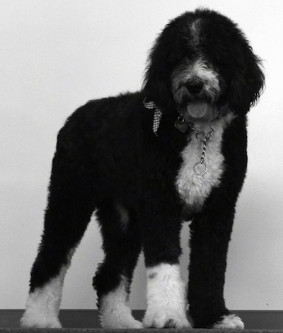 Front side view - A wavy-coated, black and white photo of a Sheepadoodle that is standing in front of a wall and it is looking forward. Its mouth is open and tongue is out. The dog is wearing a medal choke chain collar and a ribbon.
