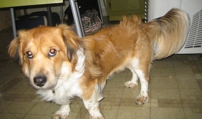A shortlegged, red and white with black Sheltie Tzu dog is standing on a tiled floor and it is looking up. It has long fringe hair on its tail, belly, chest and ears.