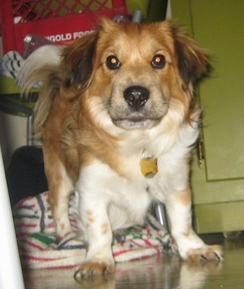 Close up front view - A low to the ground, red and white with black Sheltie Tzu dog standing on a tiled floor. Its hind legs are on top of a white with green and red striped towel and it is looking forward.