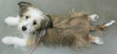 Top down view of a soft-looking, longhaired, tan, black and white Sheltie Tzu puppy laying stretched out across a floor, it is looking up and its head is slightly tilted to the left.