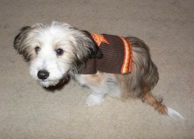 Side view - A tan, black and white Sheltie Tzu puppy is wearing a brown with orange shirt sitting on a carpet and it is looking up.
