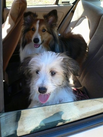 A tan, black and white Sheltie Tzu puppy and a brown and black with white Sheland Sheepdog are sitting in the backseat of a vehicle and they are looking out the window of the car.