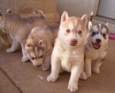 A litter of Siberian Husky puppies are standing and sitting on a concrete surface. Two are looking forward, one is looking down and one is looking to the left. They have little perk ears.
