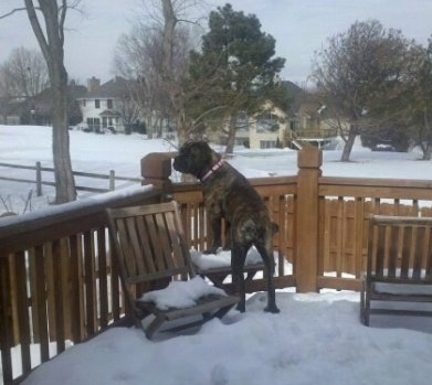 Mia the Boerboel standing outside on a wooden deck covered in snow jumping up to peer over the railing