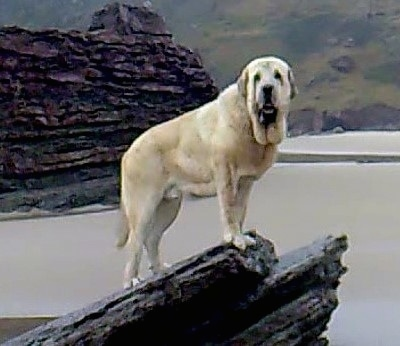 The right side of a tan Spanish Mastiff is standing on a rock and it is looking forward. There is a large stone structure in a body of water behind it. The dog is huge and it has a large amount of extra skin hanging from its neck.