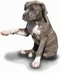 Spencer the Pitbull Puppy with his paw up