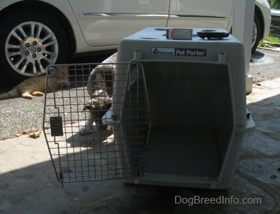 A blue-nose brindle Pit Bull Terrier puppy is standing on the left side of a crate that has been placed on a stone porch. There is a Toyota Sienna minivan behind the dog.