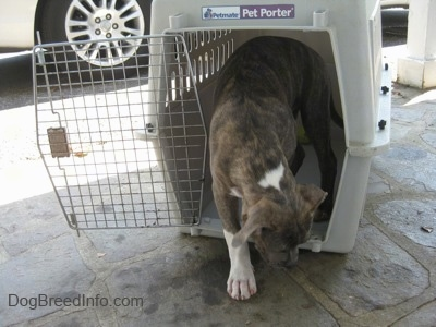 A blue-nose brindle Pit Bull Terrier puppy is walking out of a crate.