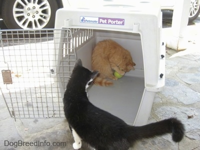 An orange cat is standing in the back of a crate and he is playing with a tennis ball. There is a black with white Cat looking at the orange cat.