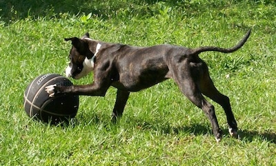 The left side of a brindle with white Staffordshire Bull Terrier puppy that is playing with a black basketball in grass. The dog has its front paw on the ball.