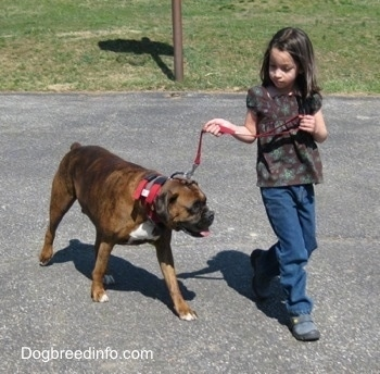 Bruno the Boxer being walked on a blacktop by a little girl