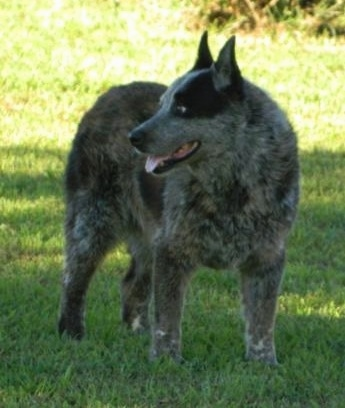 Front side view - A merle Texas Heeler dog standing in grass looking to the left, its mouth is open and its tongue is sticking out. It has small perk ears.