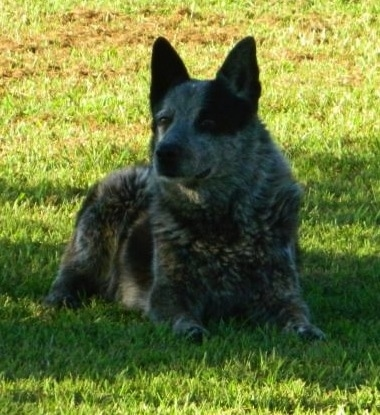 Front view - A perk eared, merle Texas Heeler dog laying in the shade in grass looking to the left. It has perk ears.