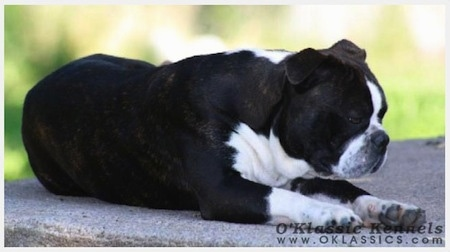 Close up side view - The front left side of a black with white Victorian Boston Bulldog laying on a stone step and its eyes are closed. The dog has a thick body, a flat pushed back muzzle and small fold over ears.