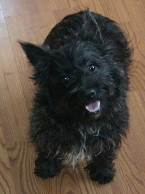 A topdown view of a black brindle Wauzer dog that is sitting on a hardwood floor. Her mouth is open and it looks like she is smiling. The dog has wide black round eyes and pointy ears that stand up.