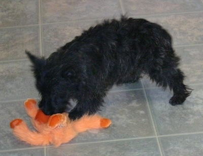 The left side of a black brindle Wauzer dog that is sniffing an orange plush doll in front of it. The dog is wiry looking.
