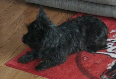 The front left side of a black brindle Wauzer dog that is laying on a red 'Coca-Cola' throw rug in front of a couch on top of a hardwood floor.