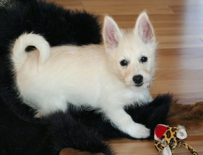 The right side of a white Westeke puppy that is laying across a black rug and it is looking forward. It has large pointy perk ears, dark eyes and a dark nose. Its tail is curled up over its back in a ring.