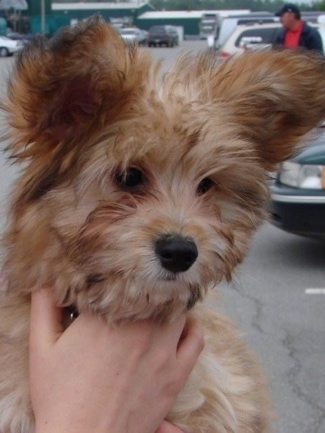A brown Westillon puppy is being held in the arms of a person and it is looking down. It has darker tips and a lighter undercoat. Its ears stand up in the air and have thick fur on them. Its nose is black.
