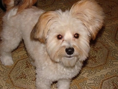 A soft coated thick-haired tan dog with a shaved coat and fring small drop ears with round eyes and a black nose is standing on a tan tiled floor looking happy.