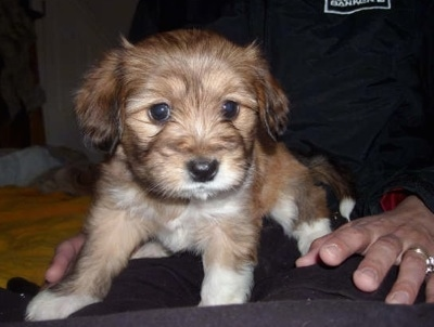 A small soft looking brown with white Westillon puppy is laying in the lap of a person. It has a black nose and round dark eyes.