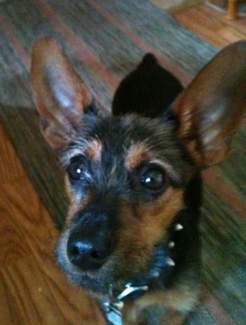 Close up - A black and brown with white Wire Fox Pinscher puppy is standing on a rug and it is looking up. It has very large perk ears, large brown eyes and a big black nose with a long snout.